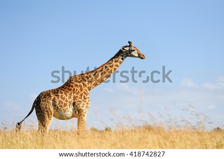 Giraffe on savannah in National park of Africa - stock photo