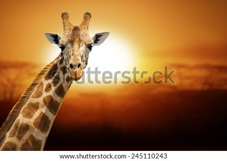 Giraffe on sunset, Amboseli national park Kenya - stock photo