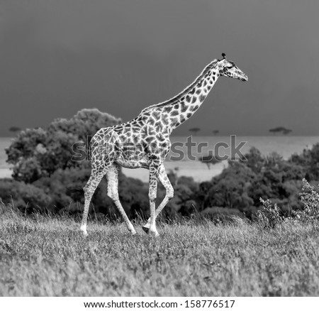Giraffe on the background of a thundercloud in Masai Mara National Reserve, Kenya (black and white) - stock photo