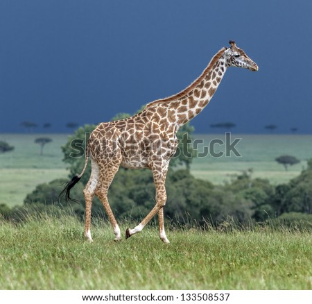 Giraffe on the background of a thundercloud in Masai Mara National Reserve - Kenya, East Africa - stock photo