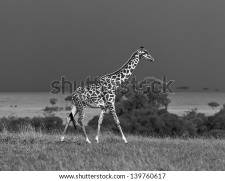 Giraffe on the background of a thundercloud on the Masai Mara National Reserve - Kenya (black and white) - stock photo