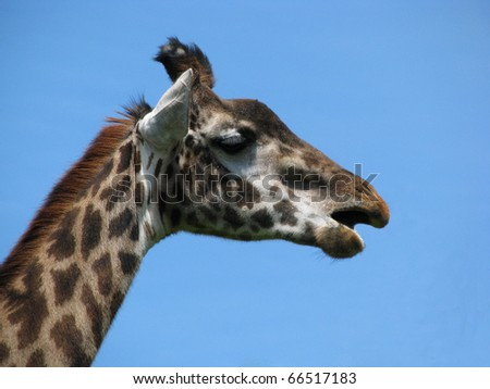 Giraffe on the blue background - stock photo