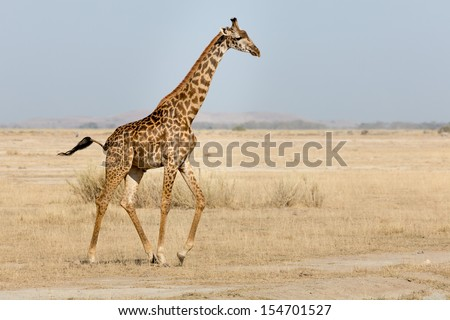 Giraffe on wild , Amboseli Kenya - stock photo