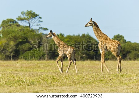 Giraffe pair walking in a savanna grassland in the afternoon sun - stock photo