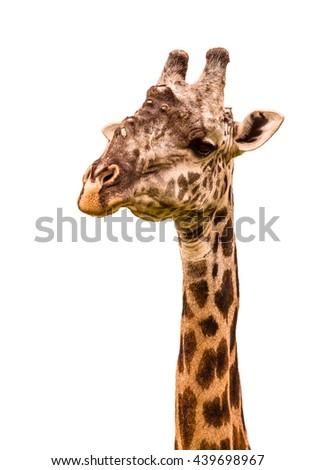 Giraffe portrait on a white background - stock photo