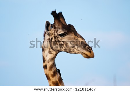 Giraffe Profile,  Ruaha National Park, Tanzania. - stock photo