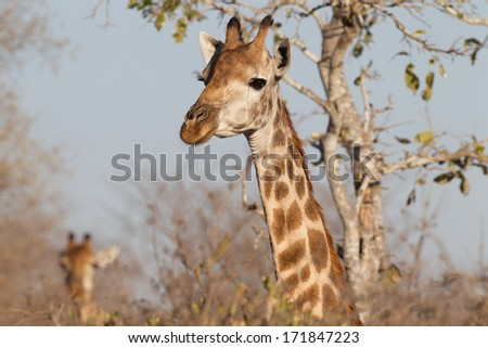Giraffe(s) feeding in Kruger National Park, South Africa - stock photo