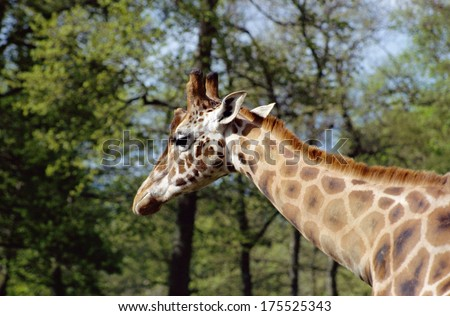 Giraffe's head and neck in front of trees and spring foliage - stock photo