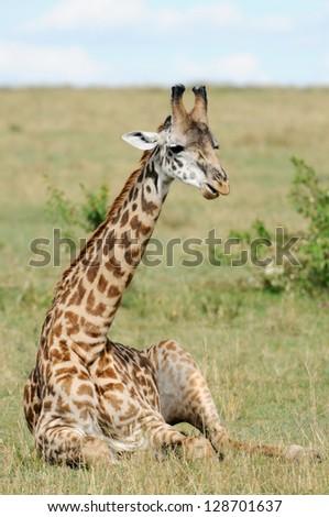 Giraffe sitting on a grasslands (Masai Mara; Kenya) - stock photo