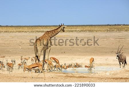 Giraffe, & Springbok & Oryx next to a waterhole in Etosha - stock photo