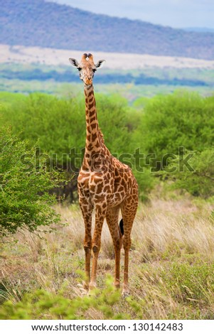 Giraffe standing on grassland savanna. Safari in Tsavo West, Kenya, Africa - stock photo