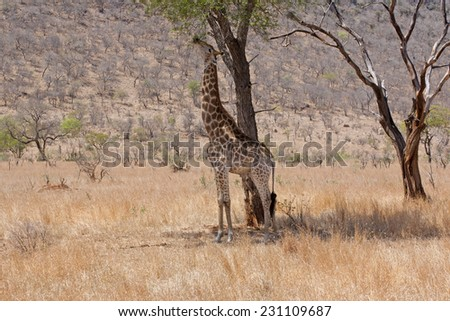 Giraffe stretching for the sweet leaves - stock photo