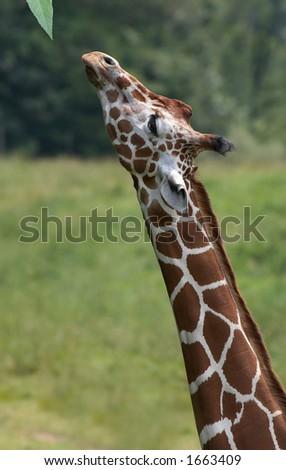 Giraffe stretching neck - stock photo
