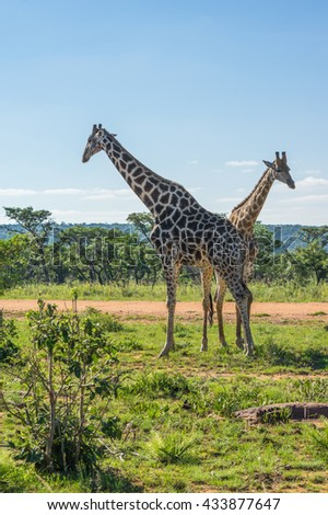 Giraffe teaching her offspring to fight in the Welgevonden Game Reserve in South Africa - stock photo