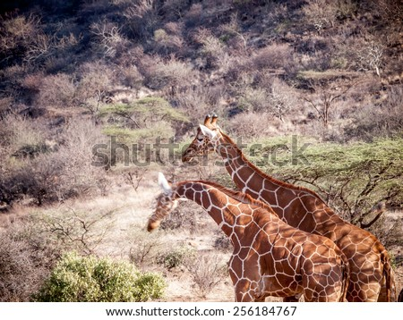 Giraffe -The giraffe (Giraffa camelopardalis) is an African even-toed ungulate mammal, the tallest living terrestrial animal and the largest ruminant.  - stock photo