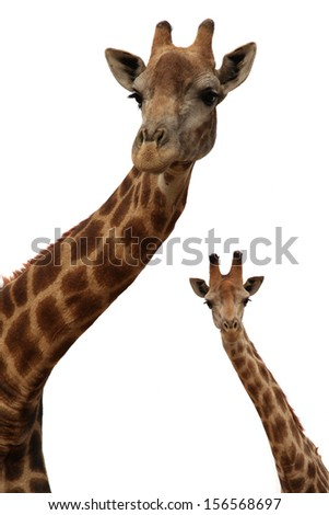 Giraffe, the tallest living animal. It is a ruminant . It lives in dry savannas of Africa, south of the Sahara. Giraffe head isolated on a white background. - stock photo