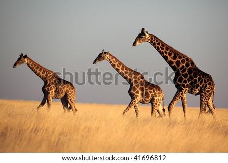 Giraffe trio in late afternoon light, Etosha NP, Namibia - stock photo