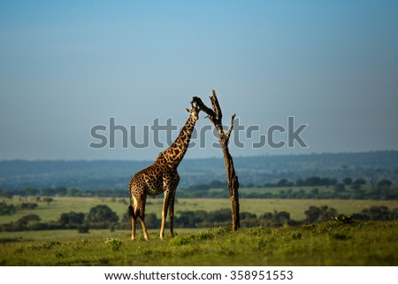 Giraffe under a dry tree in  Kenya - stock photo