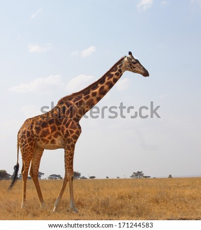 giraffe walking on the savannah of Africa  - stock photo