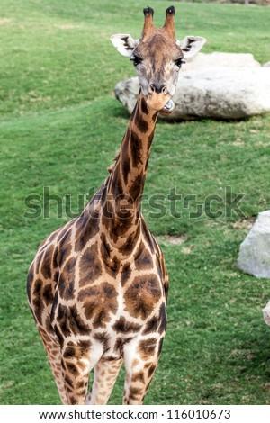 Giraffe watching us - stock photo