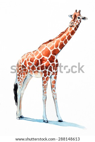 giraffe watercolor illustration. hand painted zoo animal, long neck and large orange spotted fur and hooves. Giraffe is isolated on white background.  - stock photo