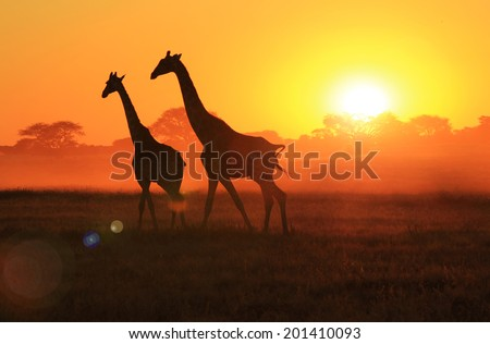 Giraffe - Wildlife Background from Africa - Beautiful Nature and Sunset Wonder of Gold - stock photo