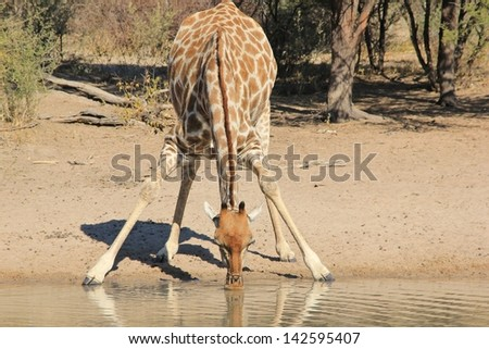 Giraffe - Wildlife from Africa - Leaning in for a drink on a game ranch in Namibia. Light and color perfect. - stock photo