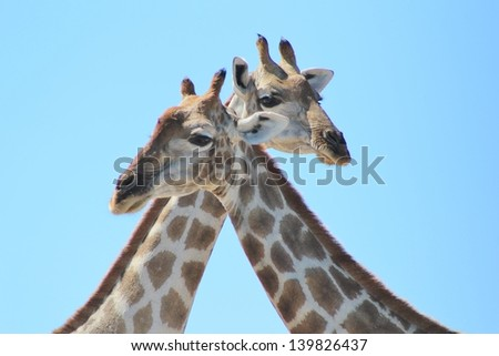 Giraffe - Wildlife from Africa - Marking the X.  Two adult cows meet at a watering hole on a game ranch in Namibia.  The infinite blue sky makes for a brilliant background. - stock photo