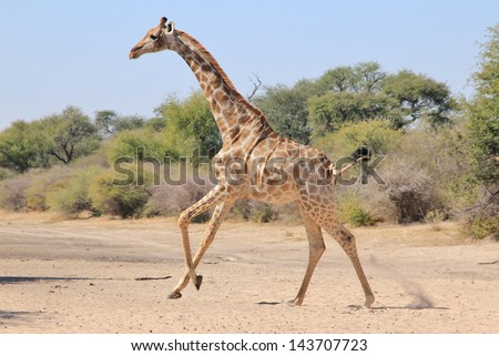 Giraffe - Wildlife from Africa - Running across a riverbed, this adult cow escapes danger.  Photographed on a game ranch in Namibia. - stock photo