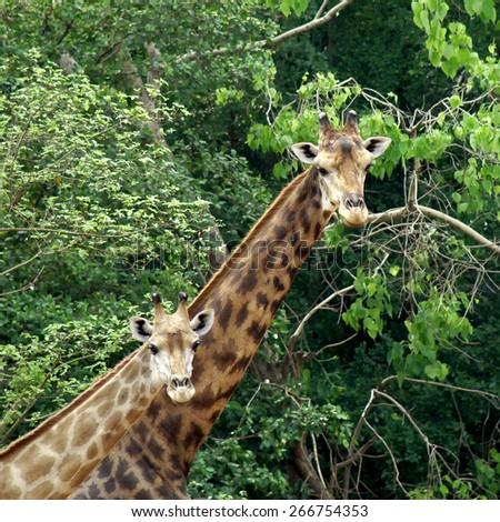 giraffe with green nature background - stock photo