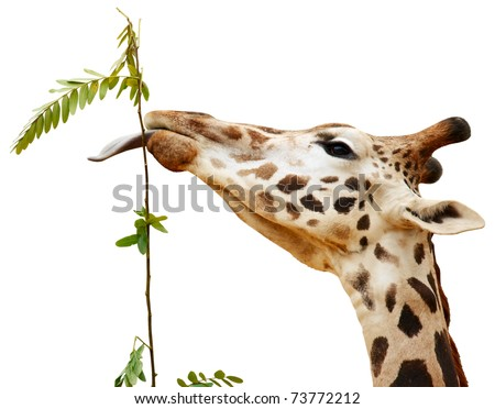 Giraffe with one's tongue hanging out isolated on white background. - stock photo