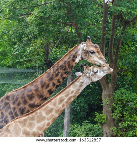 giraffes are kissing each  other, love concept - stock photo