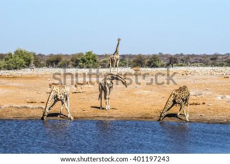 Giraffes at Chudop waterhole in Etosha national park, Namibia. - stock photo