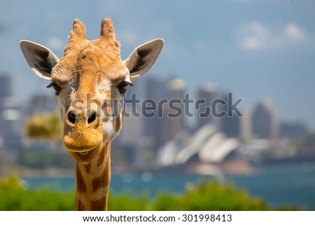 Giraffes at Taronga zoo overlook Sydney harbour and skyline on a clear summer's day in Sydney, Australia - stock photo
