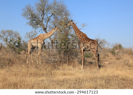 Giraffes busy grazing in early morning - stock photo