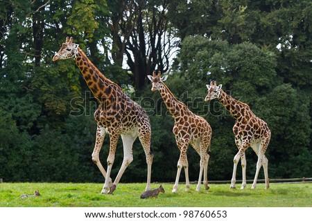 Giraffes family in the wildlife park - stock photo