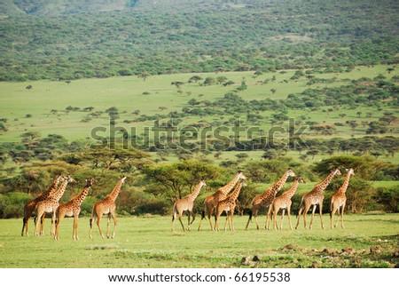 Giraffes herd in savannah - stock photo