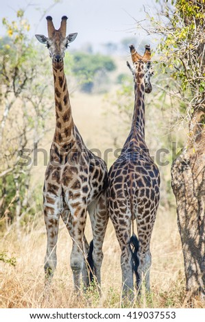 Giraffes hid from the sun in an acacia shadow. Under a shining sun two giraffes stand at a tree. Rothschild Giraffes  (Giraffa camelopardalis) in Uganda (Africa)  - stock photo