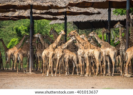 giraffes in a zoo - stock photo