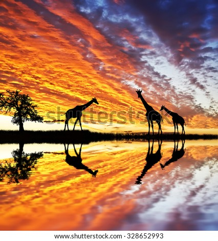 giraffes in africa - stock photo