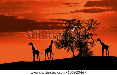 Giraffes in Africa at sunset silhouette - stock photo