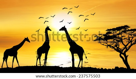 giraffes in africa lake - stock photo