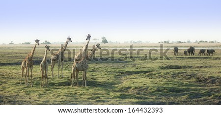 Giraffes in Botswana Savannah with elephants - stock photo