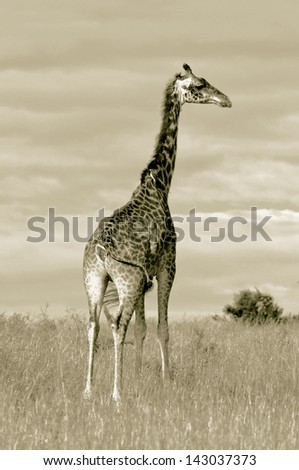 Giraffes in Masai Mara National Park - Kenya (stylized retro) - stock photo