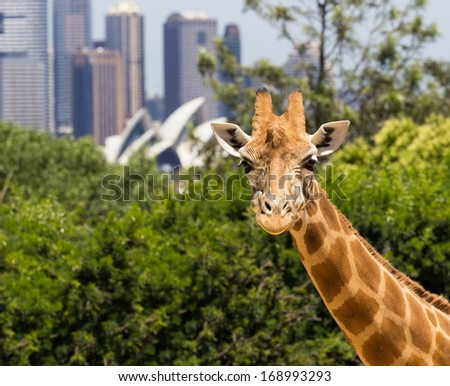 Giraffes in Taronga Zoo with a magnificent view of the skyline of the CBD of Sydney in Australia - stock photo