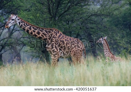 giraffes in the forest - stock photo