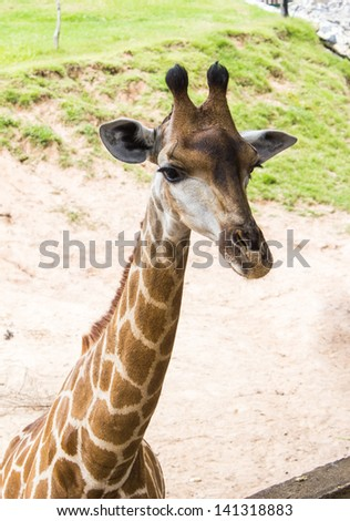Giraffes in the zoo - stock photo