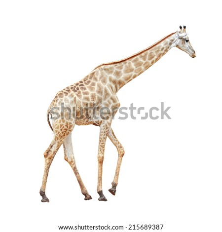 Giraffes isolated on white background, This Scientific Name is Giraffa camelopardalis - stock photo
