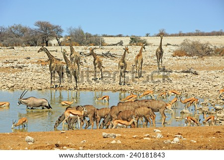 Giraffes, kudu, Oryx and springbok around a waterhole in Etosha National park - stock photo
