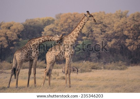 Giraffes Nuzzling in the Grass - stock photo